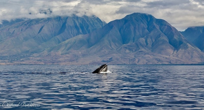 elopement in hawaii with humpback whale