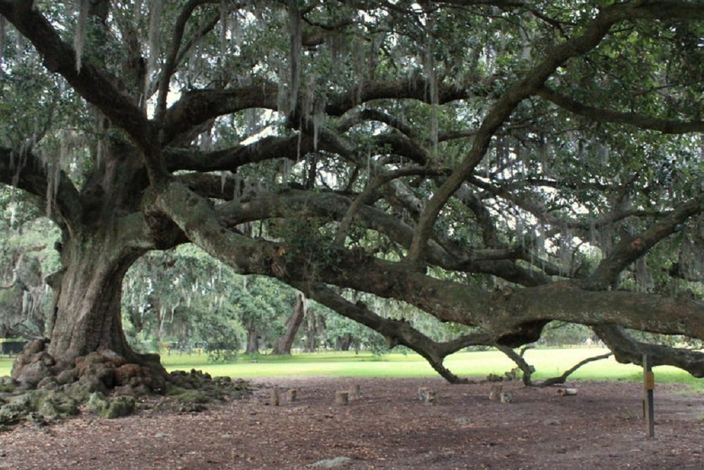 Eloping under the tree of life in new orleans